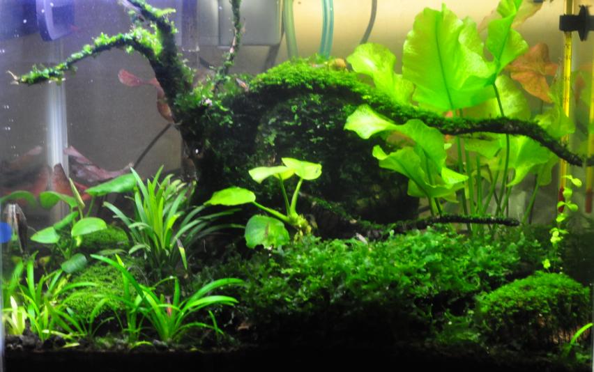 Pin aquascape aquarium dengan dekorasi tanaman air khusus on pinterest - Gambar aquascape ...